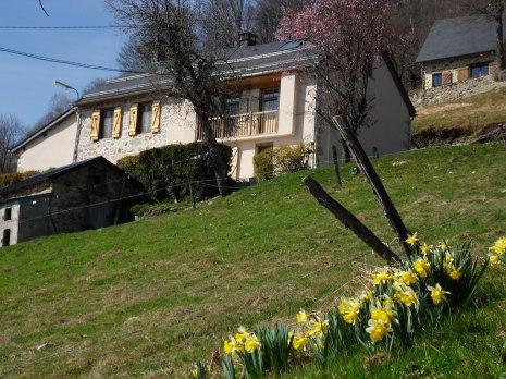Des jonquilles devant la maison