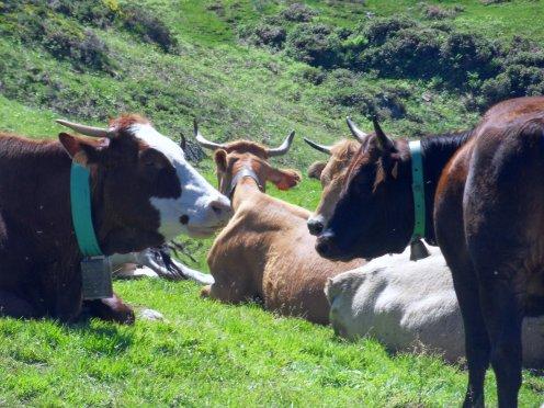 vaches à l'estive