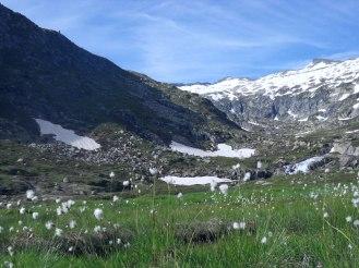 Joncs en fleurs et montagne enneigée